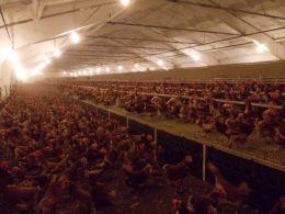 Яйца и птици Ломци - 04 - Яйца и птици Ломци - Мейбъл, Кармен - Търговище
